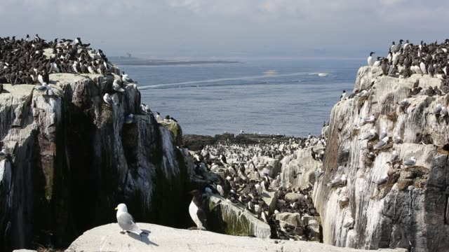 common guillemots on breeding cliffs on the farne islands, northumberland, uk. - northumberland video stock e b–roll