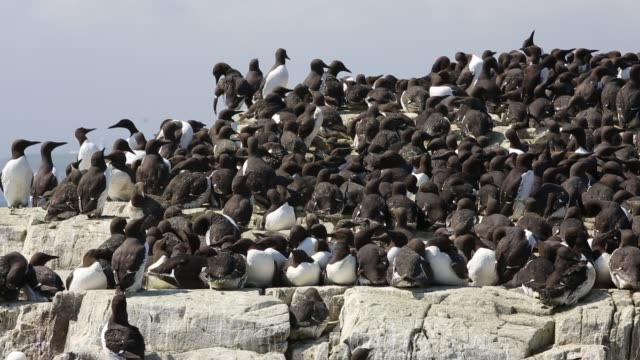 Common Guillemots on breeding cliffs on the Farne Islands, Northumberland, UK.