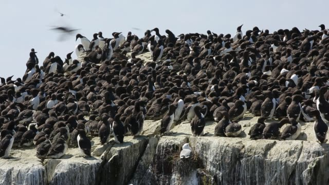common guillemots on breeding cliffs on the farne islands, northumberland, uk. - farne islands stock videos & royalty-free footage