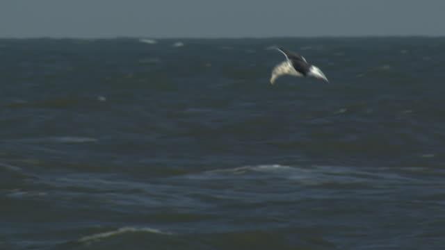 Common Gulls Flying, Hokkaido, Japan