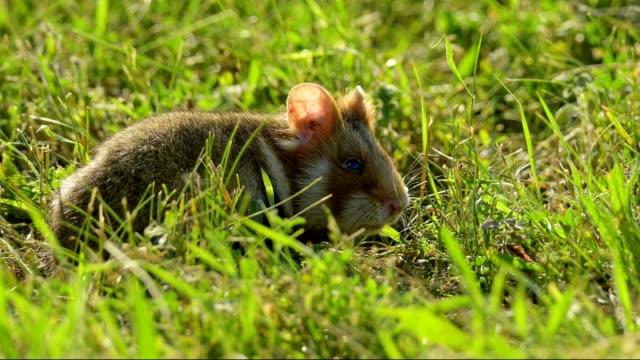 vídeos y material grabado en eventos de stock de common hamster, black-bellied hamster, cricetus cricetus - hamster