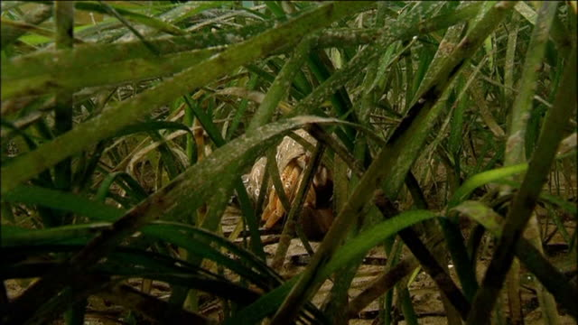 Common Hermit Crab (Eupagurus bernhardus) in sea grass. Arran. Underwater, North Atlantic