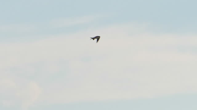 common house martin flying in the sky - songbird stock videos & royalty-free footage