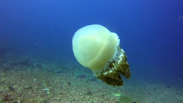 vídeos de stock e filmes b-roll de common jellyfish (thysanostoma thysanura) swimming in the deep - gelo picado