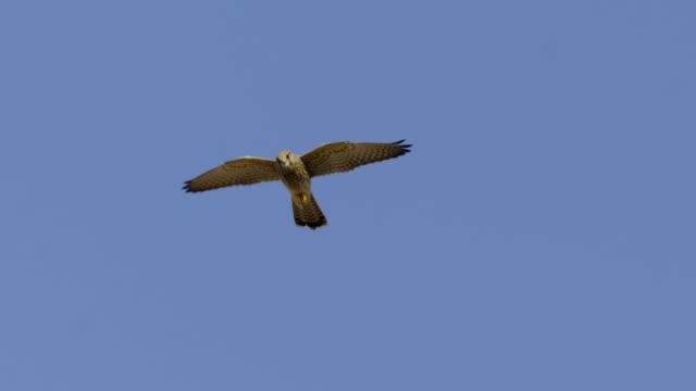 vídeos y material grabado en eventos de stock de common kestrel (falco tinnunculus) 2 - halcón