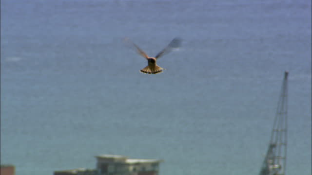 common kestrel (falco tinnunculus) hovers over dundee, scotland, uk - 猛禽点の映像素材/bロール