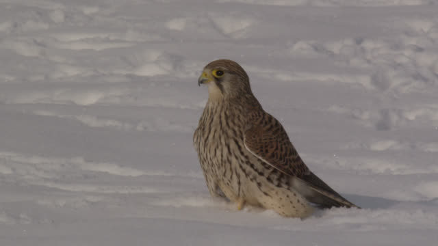 common kestrel (falco tinnunculus) takes off from snow, essex, england - bbc stock videos & royalty-free footage