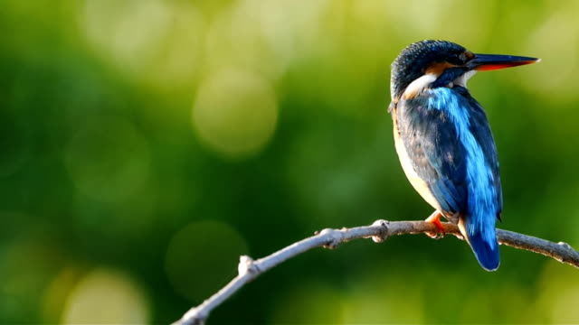 Common kingfisher bird.