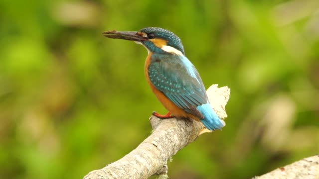 common kingfisher (alcedo atthis) kunashir island - penknife stock videos & royalty-free footage