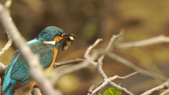 martin pescatore comune (alcedo atthis) kunashir - nido di animale video stock e b–roll