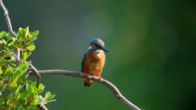 vídeos y material grabado en eventos de stock de common kingfisher on a twig - posa del loto