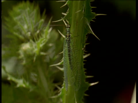 common lacewing climbs over thistle stem, uk - recreational pursuit stock videos & royalty-free footage
