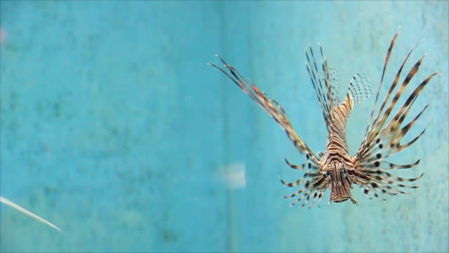 common lionfish or miles' firefish. - distillery still stock videos and b-roll footage