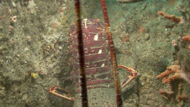 stockvideo's en b-roll-footage met common lobster near hideaway. movesinto crevise cu. channel islands, british waters - kanaaleilanden engeland