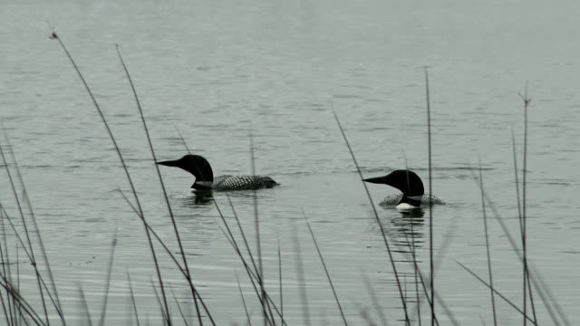 common loons - minnesota stock videos & royalty-free footage