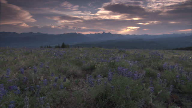 common lupines (lupinus perennis) growing on hillside, yellowstone, usa - prairie stock videos and b-roll footage