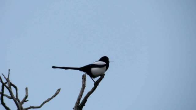 a common magpie _pica pica_ perching on a branch - elster stock-videos und b-roll-filmmaterial