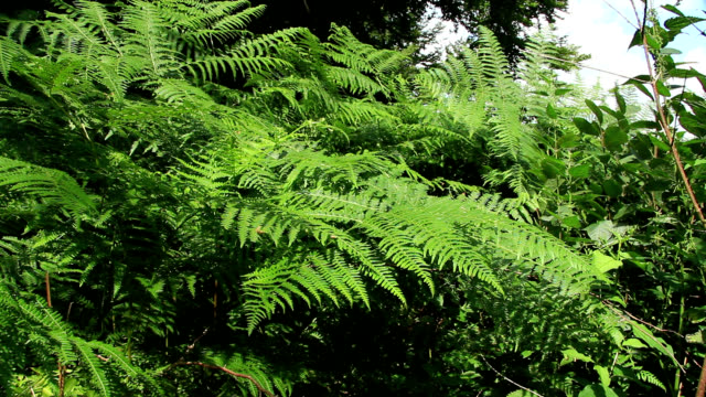 common male fern - infestation stock videos & royalty-free footage