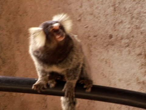 ms, common marmoset (callithrix (callithrix) jacchus) on metal bar, brazil - bar点の映像素材/bロール