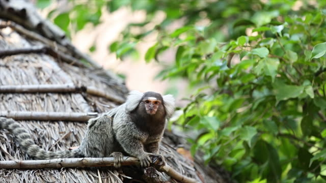 common marmoset small monkey - human head stock videos & royalty-free footage