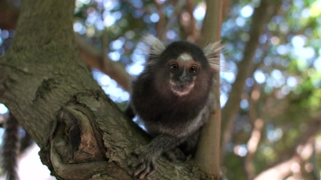 common marmoset - brazil stock videos & royalty-free footage