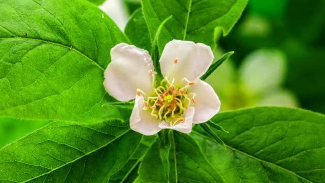 vídeos y material grabado en eventos de stock de flor de níspero común florece sobre fondo negro en una película de lapso de tiempo. mespilus germanica en lapso de tiempo móvil. - pistilo