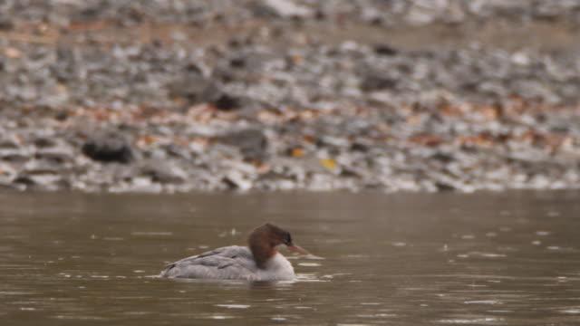 一般的なメルガンサーまたはグーサンダー(メルゴスメルガンサー)女性 - アルタイ自然保護区 - 野生生物保護点の映像素材/bロール
