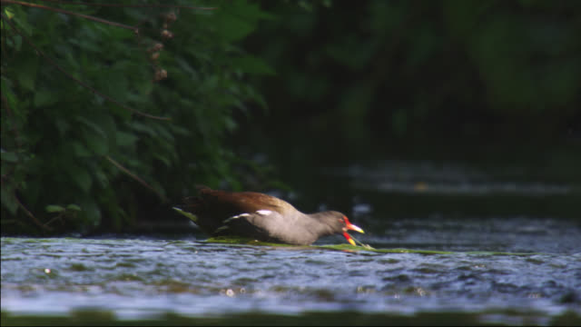 common moorhen (gallinula chloropus) feeds on weed in river, nottinghamshire, england - nottinghamshire stock videos & royalty-free footage