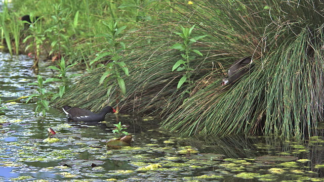 ms slo mo common moorhen or european moorhen, gallinula chloropus flighting in pond / vieux pont, normandy, france - pond stock videos & royalty-free footage