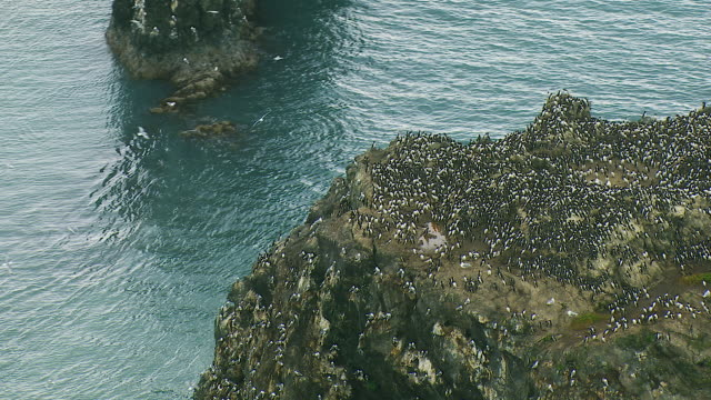 Common Murre Colony In Alaska