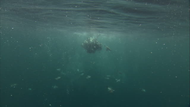 A common murre feeds as it dives to a herring baitball. Available in HD.