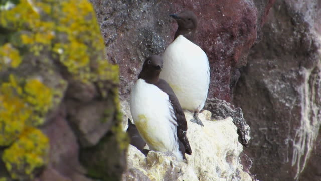 Common Murre In Their Nest
