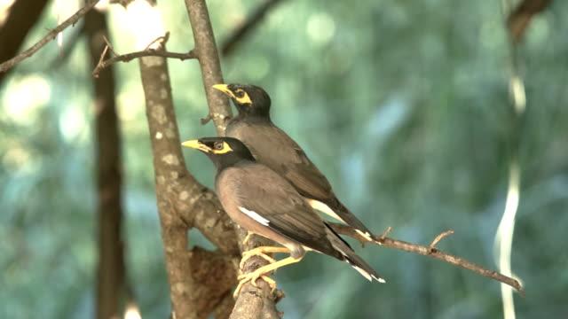 vídeos y material grabado en eventos de stock de myna común: tristis de acridotheres - baño para pájaros
