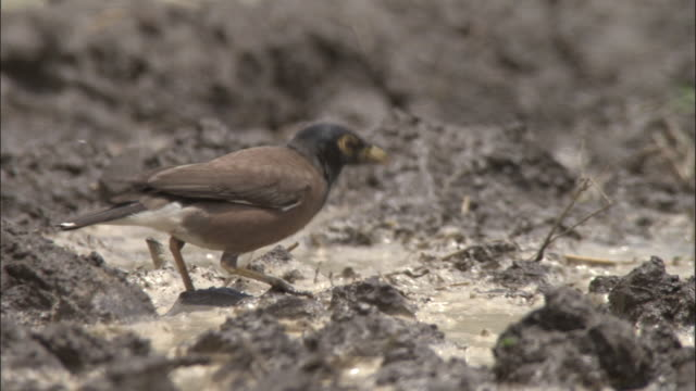 common mynah feeds in ploughed field, yamnotri, india available in hd. - apparato digerente animale video stock e b–roll