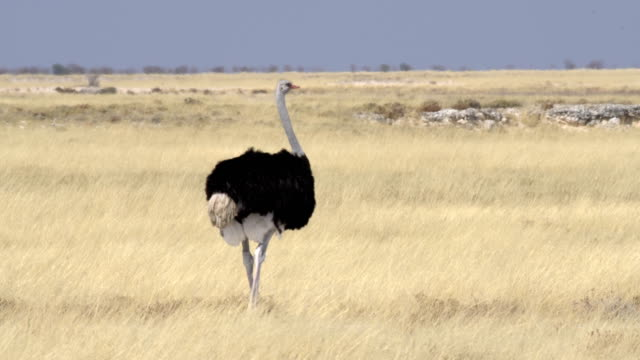 vídeos y material grabado en eventos de stock de common ostrich (struthio camelus) male in etosha national park, namibia - un animal