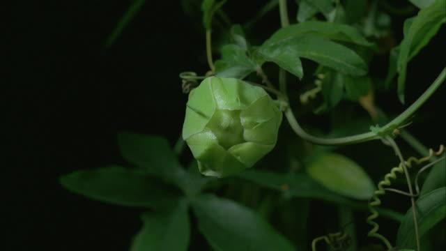 t/l, cu, common passion flower (passiflora caerulea) opening - passionsfrukt bildbanksvideor och videomaterial från bakom kulisserna