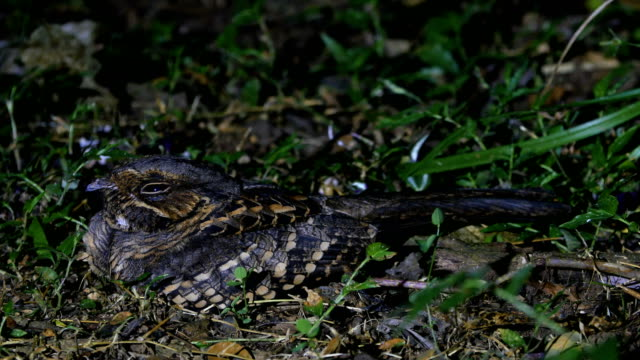common pauraque (nyctidromus albicollis), perching on ground at night - 迷彩柄点の映像素材/bロール