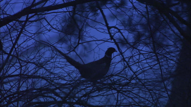 Common pheasant (Phasianus colchicus) perched in branches at dawn, Norfolk, UK