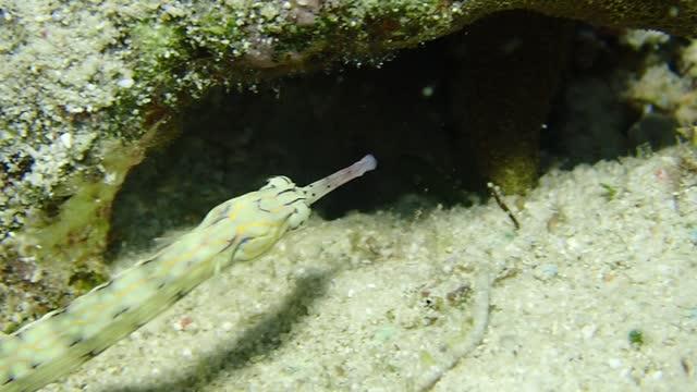 common pipe fish - ヨウジウオ科点の映像素材/bロール