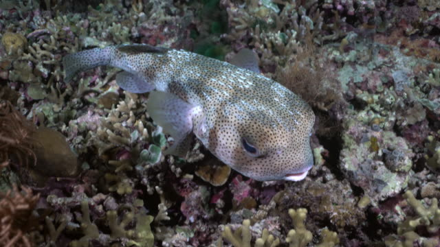 common porcupinefish (diodon hystrix) swimming over night time coral reef in raja ampat, indonesia - balloonfish stock videos and b-roll footage
