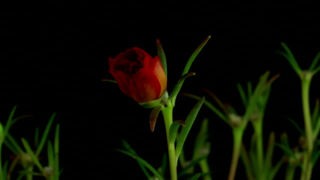Common Purslane Flower