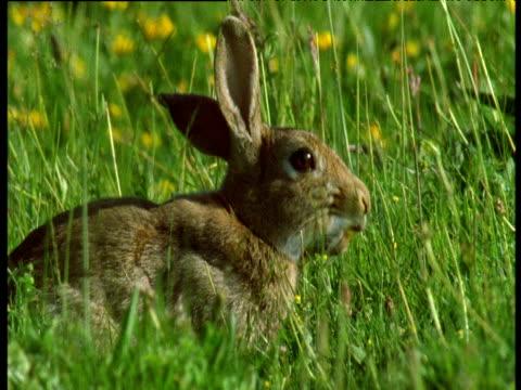 common rabbit grazes in field, uk - ranunkel stock-videos und b-roll-filmmaterial