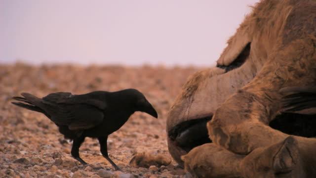 Common raven (Corvus corax) feeding on Camel carcas in the desert