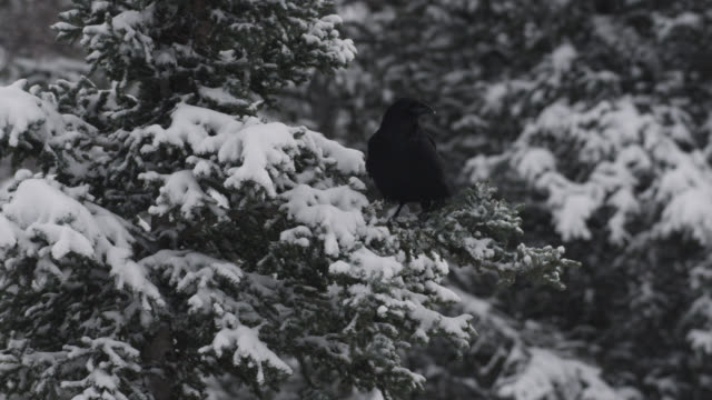 common raven (corvus corax) flies away in snowy forest, alaska, usa - raven stock videos & royalty-free footage