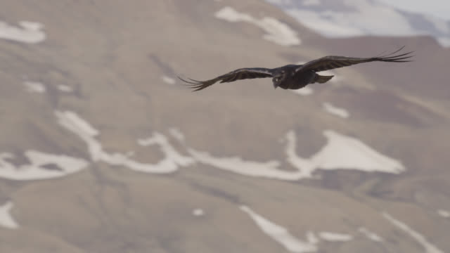common raven (corvus corax) flies over tundra, greenland - raven stock videos & royalty-free footage