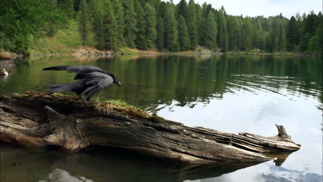 common raven flying and landing - crow stock videos & royalty-free footage