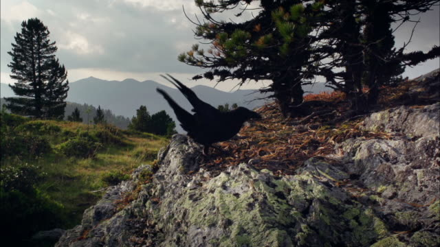 common raven flying, landing and eating - raven stock videos & royalty-free footage