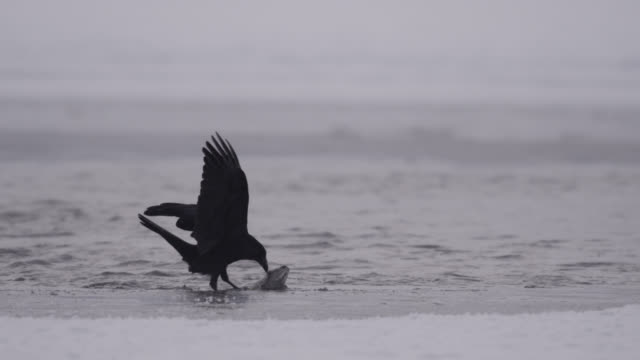 common raven (corvus corax) plucks eyeball from salmon carcass, alaska, usa - raven stock videos & royalty-free footage