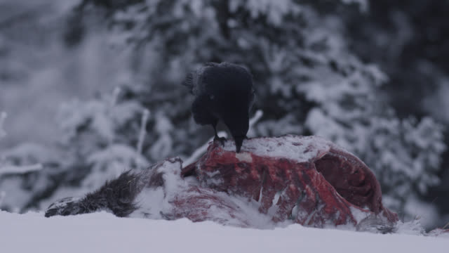 common raven (corvus corax) scavenges on frozen moose carcass, alaska, usa - raven stock videos & royalty-free footage