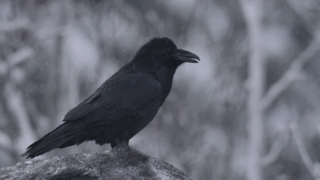 common raven (corvus corax) scavenges on frozen moose carcass, alaska, usa - kälte stock-videos und b-roll-filmmaterial